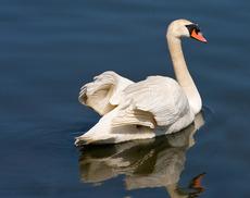 A swan in Flushing Bay